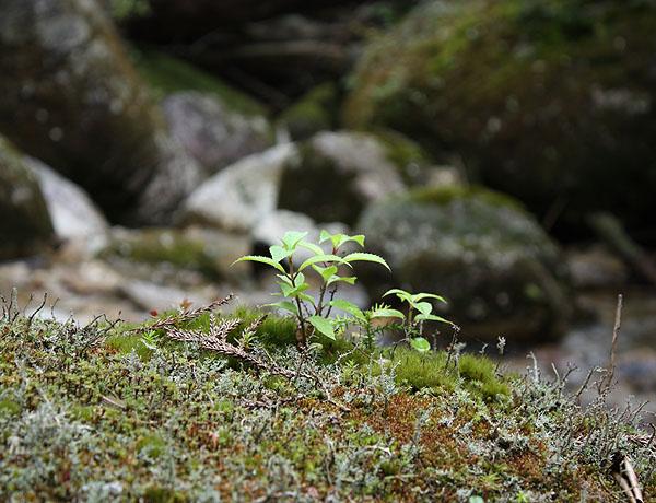 090721屋久杉ランド岩の芽生え