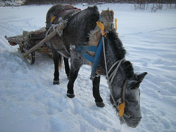 091231北極村そりの馬