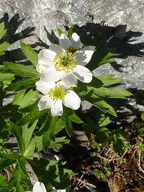 100718北岳の花