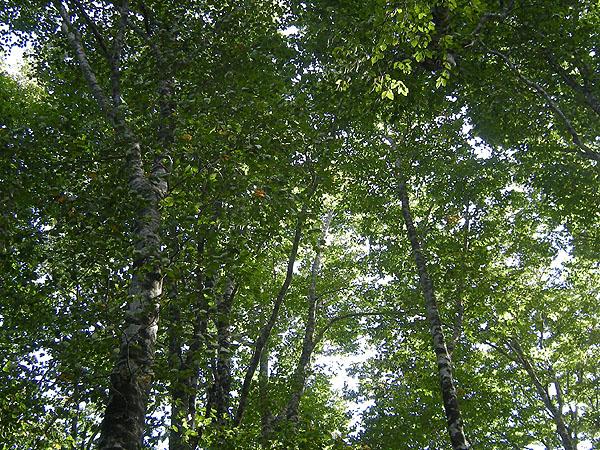 100926大東岳のブナ林
