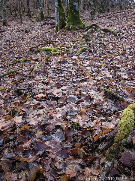 101121丹沢・地蔵平落ち葉に埋もれる道