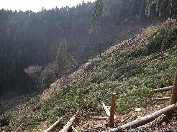 101128日の出山・平井川源流の伐採