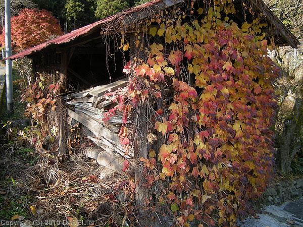 101128御岳山・登山口手前の蔦の紅葉