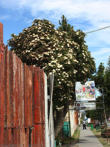 110101プエルトナタレスの白い花
