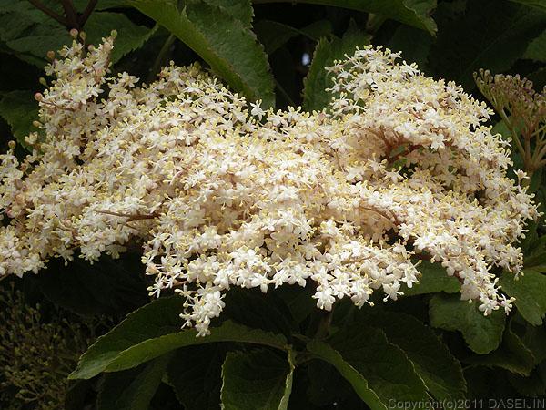 110101プエルトナタレス白い花のアップ