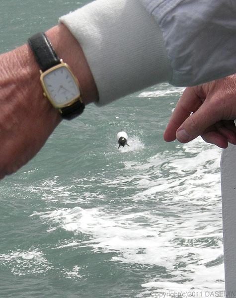 110105マゼラン海峡・イロワケイルカのジャンプ