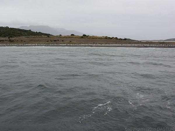 110106フエゴ島・ビーグル水道、ペンギンが遠ざかる