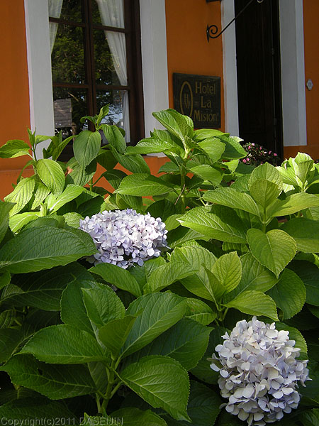 110108コロニア・デル・サクラメント、紫陽花