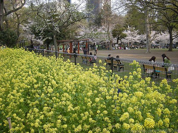 110410日比谷公園菜の花