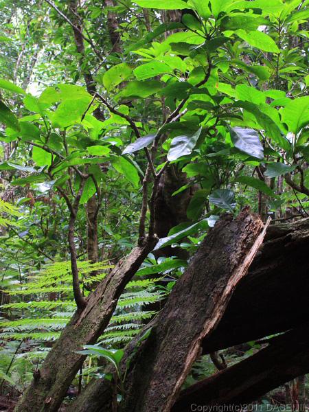 110501小笠原母島石門木の皮から芽吹き