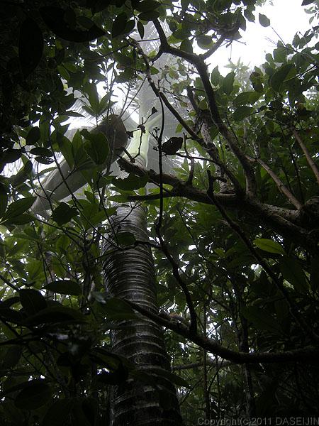110501小笠原母島石門の野椰子
