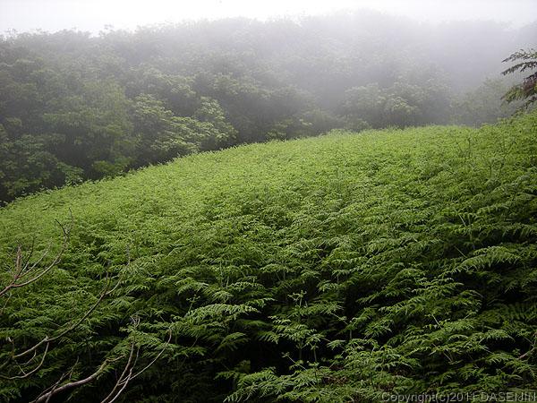 110501小笠原母島石門畑だった場所にシダが茂る