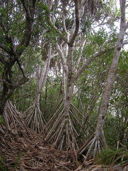 110502小笠原母島乳房山タコノキの森
