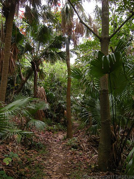 110503小笠原母島南崎遊歩道オガサワラビロウの森