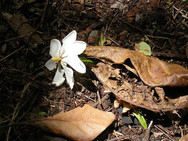 110503小笠原母島南崎遊歩道に花が落ちている