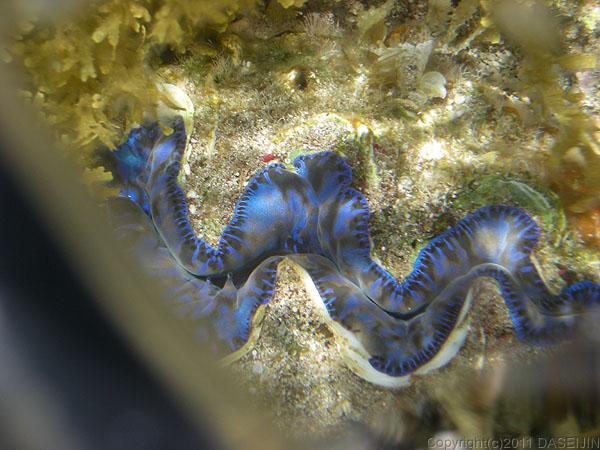 110503小笠原母島蓬莱根のシャコ貝2