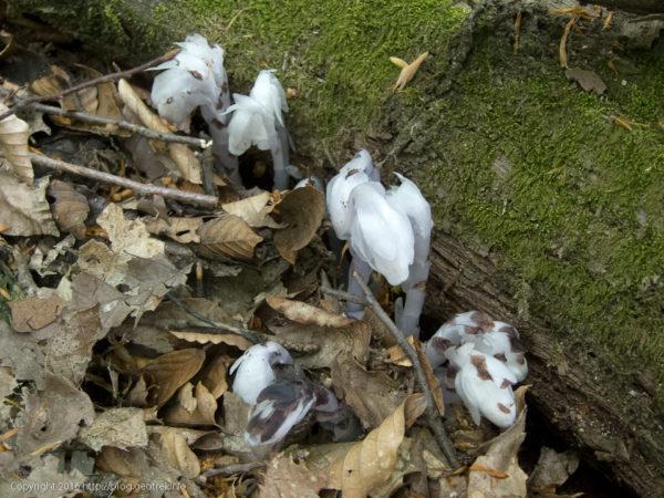 浅間尾根の銀竜草