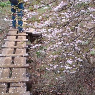 檜洞丸の桜