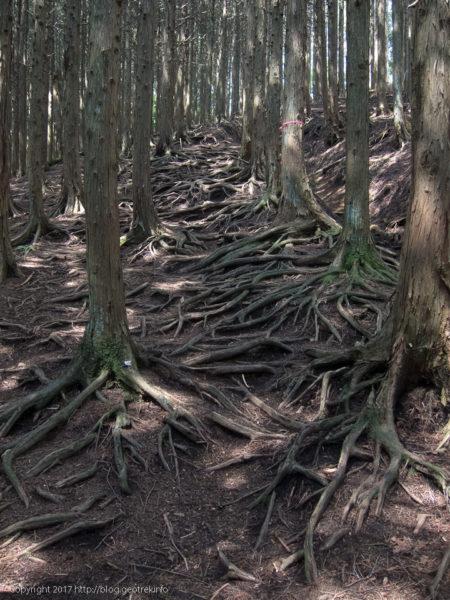 170708 石尾根登りはじめは植林の森