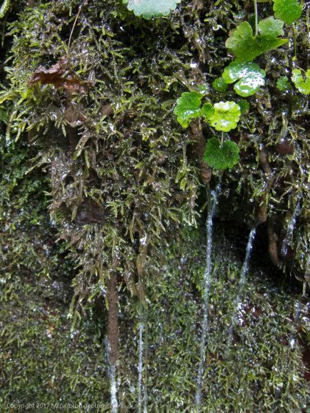 170827真名井沢、苔から染み出る水