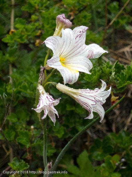 171118 百合の花