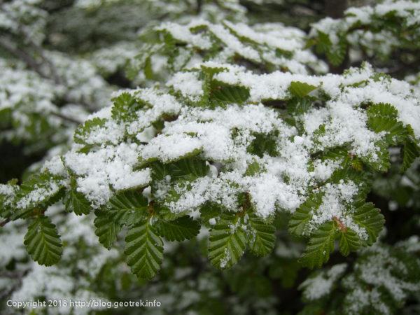 171118 南極ブナに雪が積もる