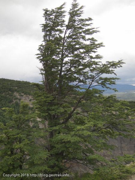 171119 ラス・トーレスへ風を受ける木