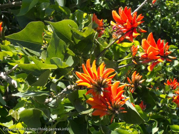 171114 イースター島の赤い花