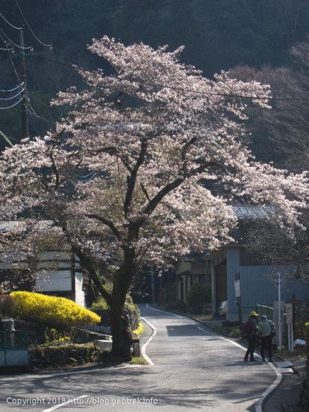 180401和田の桜