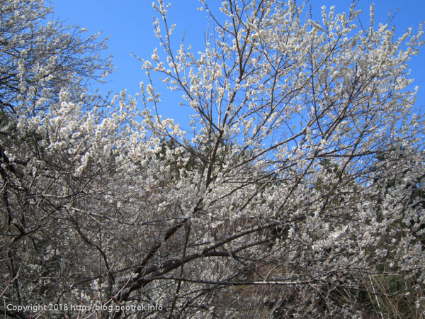 180401 下山して桜