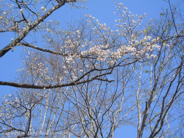 180422 倉戸山山頂の桜