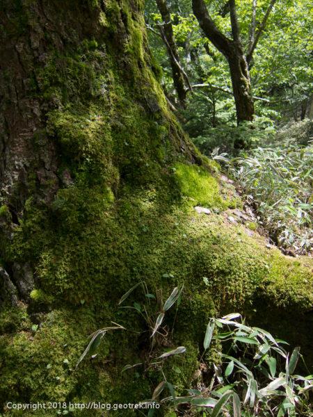 180630 樹木を覆う苔