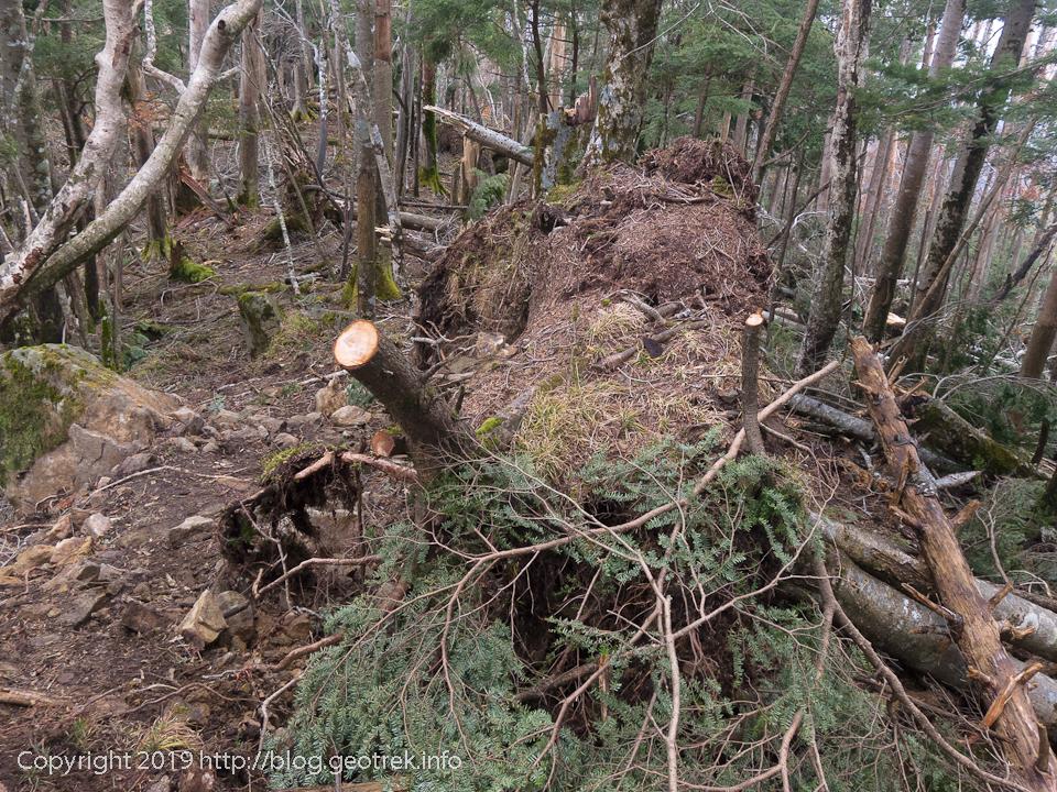181020 黒岳先の倒木帯
