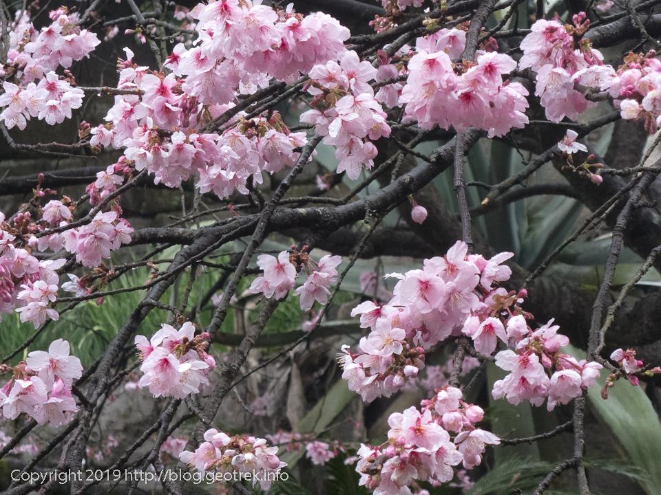 190222 仙厳園の桜
