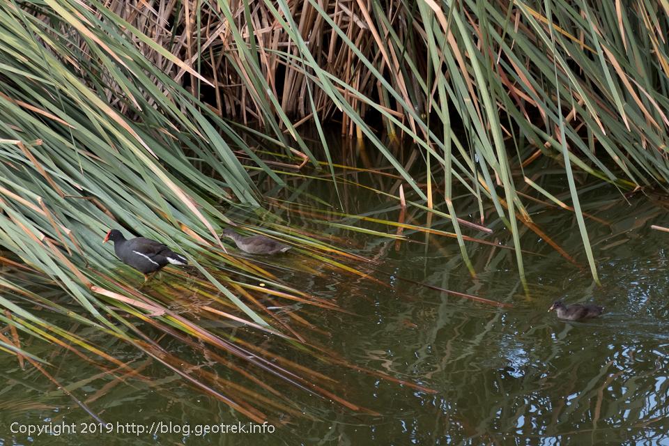 オアシスの水鳥
