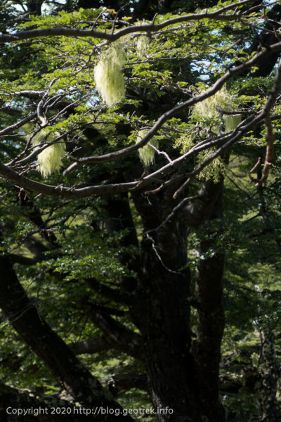 200119 フィッツロイ・トレッキング、木からぶら下がるもの