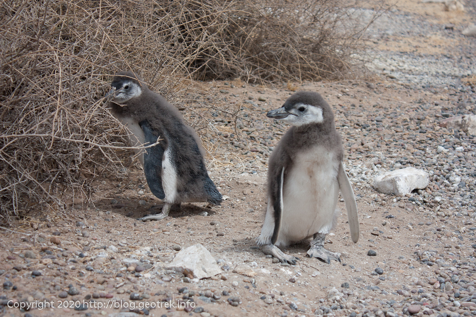 200124 プンタ・トンボ、ペンギン発見