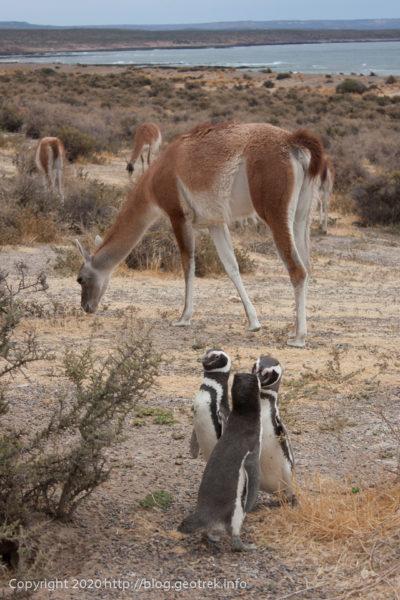 200124 プンタ・トンボ、ペンギンとグアナコ