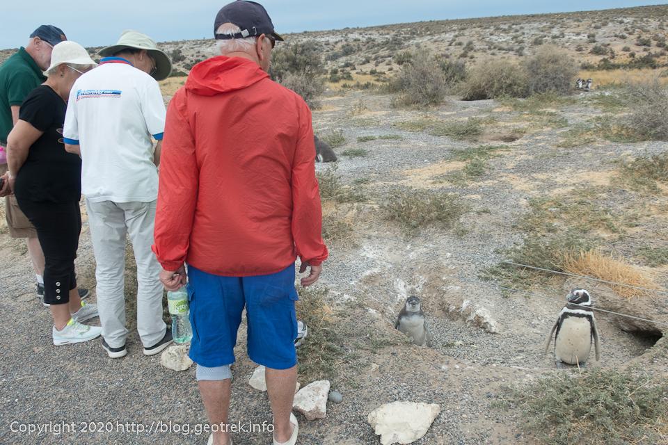 200124 プンタ・トンボ、遊歩道のそばに巣をつくるペンギン