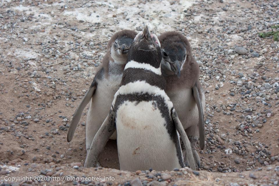 200124 プンタ・トンボ、眠っている?親ペンギンと子ペンギン