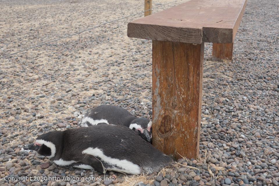 200124 プンタ・トンボ、ベンチで寝るペンギン