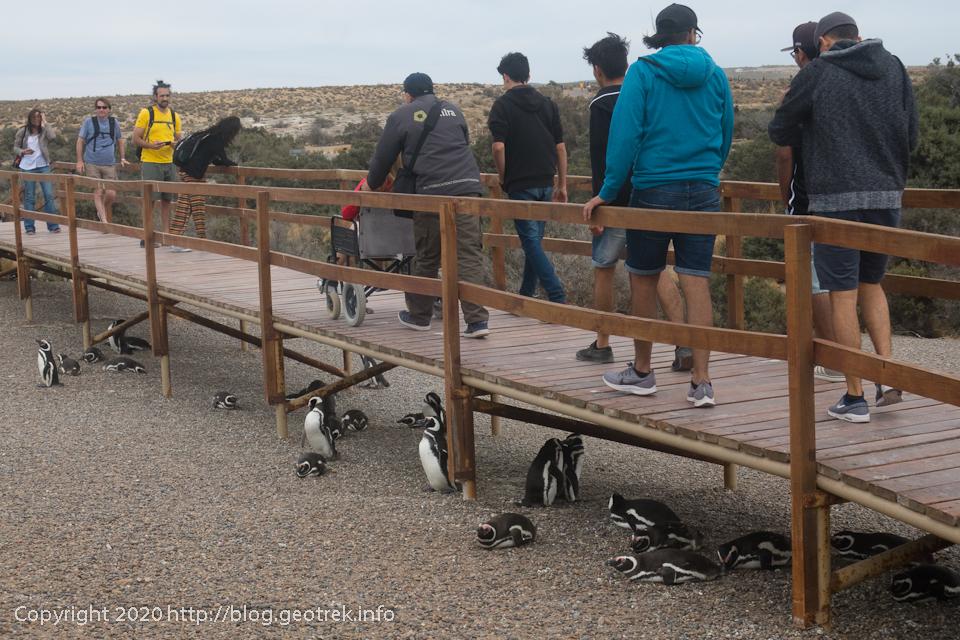 200124 プンタ・トンボ、通路の下に群れるペンギン