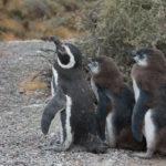 プンタ・トンボで野生のペンギンと戯れる~アルゼンチン、パタゴニアの旅(14)