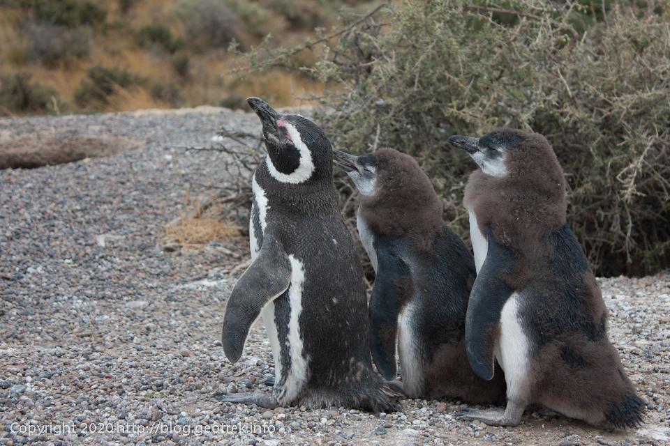 200124 プンタ・トンボ、ペンギンの親子