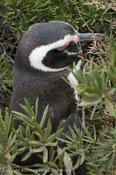 200124 プンタ・トンボ、ペンギンのアップ