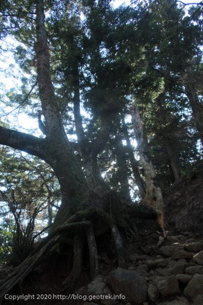 200307 大山阿夫利神社参道の杉