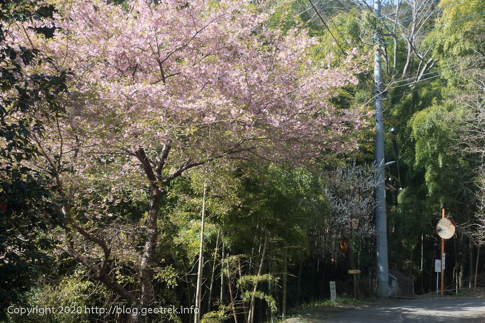 200321 墓村の桜