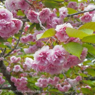 210515 月夜見第二駐車場の八重桜