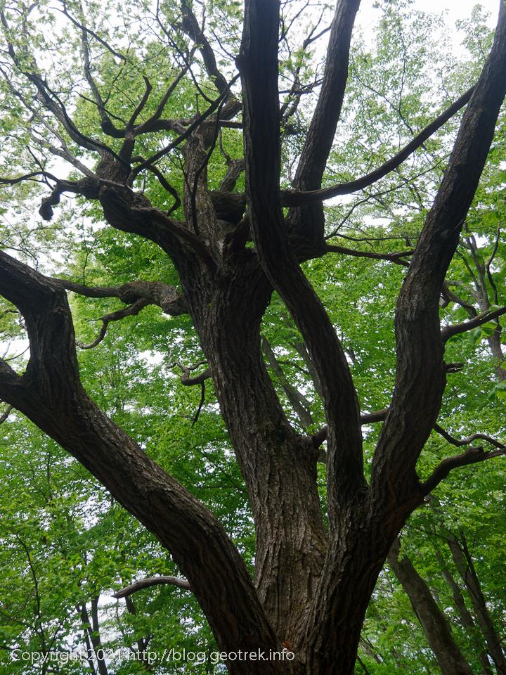 210515 広葉樹の大木