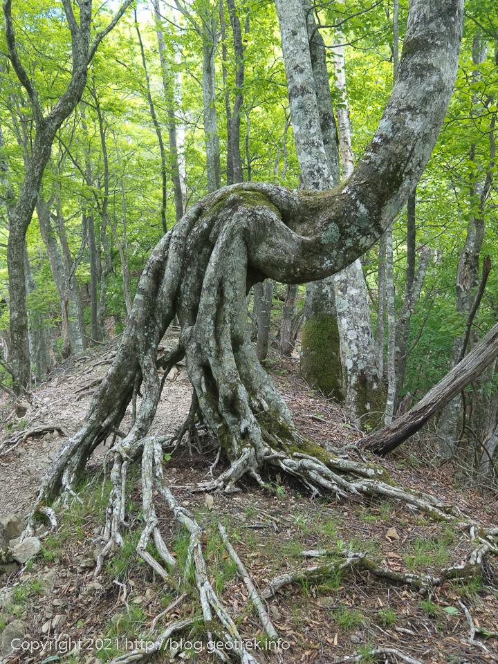 210529 ねじれた木